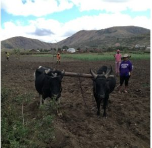 Zebus (local oxen) in Ampefy, Madagascar, August 2019 - Photo Patrick Lemarié Business Ethics